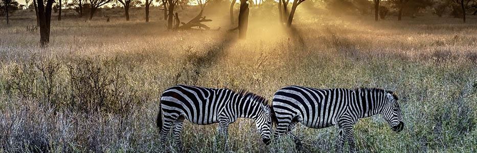 Zebra African wildlife
